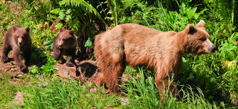 Alaska Alert Brown Grizzly Bear with Twin Cubs Royalty Free Stock Photo