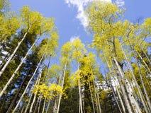 Alaska Aspen Forest in Autumn Stock Photo