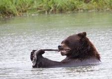 Alaska-Bär, der das Mittagessen isst stockfotografie