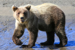 Alaska Baby Brown Bear Cub Walking Pose Stock Images