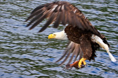 Alaska Bald Eagle with a Fish 2. A mature Bald Eagle right after catching a fish off the surface of the water near Ketchikan, Alaska. The American Bald Eagle is Stock Image