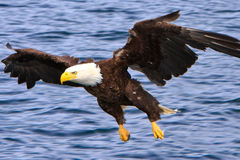 Alaska Bald Eagle Flying Low. A mature Bald Eagle swooping in to catch a fish off the surface of the water near Ketchikan, Alaska. The American Bald Eagle is a royalty free stock image