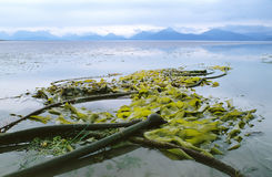 Alaska Beach B1. Twisted seaweed at low tide with distant mountains reflecting in wet sand Royalty Free Stock Photos