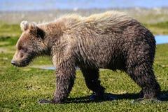 Alaska behandla som ett barn brunbjörngröngölingen som går profil Royaltyfria Foton