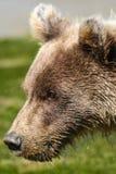 Alaska behandla som ett barn ståenden för profilen för brunbjörngröngölingen Arkivbilder