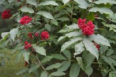 Alaska-Berg Ash Berries lizenzfreie stockfotografie