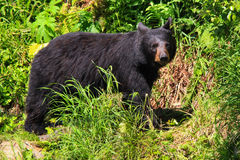 Alaska Black Bear on Grassy Trail Stock Photo