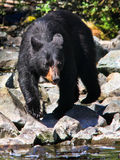 Alaska Black Bear Looking for Fish Stock Image