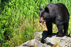 Alaska Black Bear on Rocky Outcropping Stock Photography