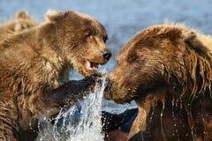 Alaska-Braunbär-Mutter und CUB-Fighting lizenzfreie stockfotografie