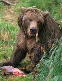 Alaska brown bear. Enjoying a freshly caught salmon at the stream's edge Royalty Free Stock Images