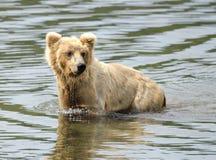 Alaska brown bear standing in shallow water Stock Photos