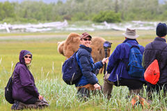 Alaska Brown Bear Viewing Group in Katmai Stock Image