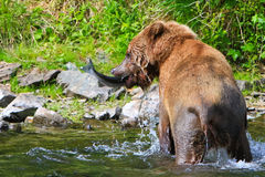 Alaska Brown Grizzly Bear Catches Fish Stock Image