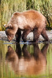 Alaska Brown Grizzly Bear Drinking Water Reflection. A young, two year old coastal brown grizzly bear drinks some water from Silver Salmon Creek in Lake Clark stock photos