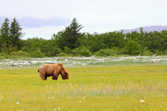 Alaska Brown Grizzly Bear Eating in a Meadow Royalty Free Stock Image