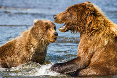 Alaska Brown Grizzly Bear Mother and Cub Stock Images