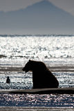 Alaska Brown Grizzly Bear Silhouette Cook Inlet Lake Clark Royalty Free Stock Photography