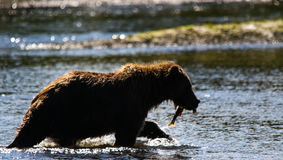 Alaska Brown Grizzly Bear Silhouette with Salmon Royalty Free Stock Image