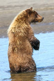 Alaska Brown Grizzly Bear Standing in Water Royalty Free Stock Photos