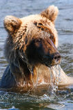 Alaska Brown Grizzly Bear in Water Royalty Free Stock Images