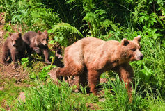 Free Alaska Brown Grizzly Bear With Twin Cubs Royalty Free Stock Photos - 28607878