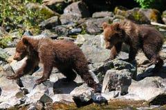 Alaska Brown grizzly Niedźwiadkowego lisiątka bliźniacy Zdjęcia Royalty Free