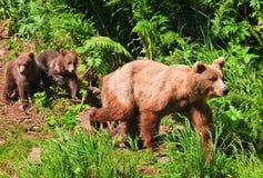 Alaska brun Grizzlybjörn med tvilling- gröngölingar Royaltyfria Foton