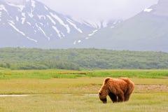Alaska brun Grizzlybjörn som betar i Katmai Arkivfoto