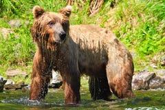 Alaska - brun Grizzlybjörnstekflott blöter bevattnar Royaltyfri Fotografi