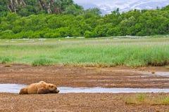 Alaska bruntbjörn som sovar i flodsäng Arkivfoton