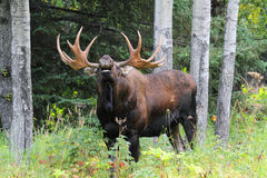 Alaska Bull Moose royalty free stock images