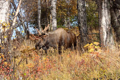 Alaska Bull Moose royalty free stock photo