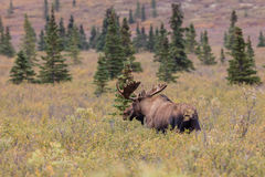 Alaska Bull Moose in Velvet Royalty Free Stock Image