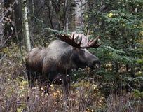 alaska byka łoś amerykański Obrazy Stock