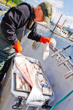 Alaska Charter Captain Fileting Fresh Halibut. A charter boat captain in the boat harbor in Hoonah in southeast Alaska uses a sharp knife to filet and clean Stock Image