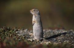 alaska chipmunk denali park narodowy zdjęcia stock