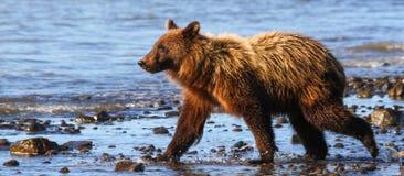 Alaska Clark Brown grizzly niedźwiedzia Jeziorny Młody Chodzić zdjęcia stock