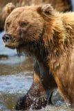 Alaska Clark Brown niedźwiedzia matki Jeziorny portret obrazy stock