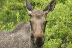 Alaska Collection: Staring Contest Royalty Free Stock Image