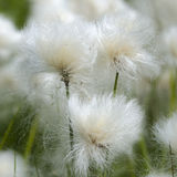 Alaska Cotton. Reveils fine tufts of fiber in the middle of summer Royalty Free Stock Photos