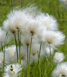 Alaska Cotton. Reveils fine tufts of fiber in the middle of summer waving in the wind Royalty Free Stock Photos