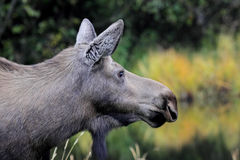 Alaska Cow Moose Royalty Free Stock Photography