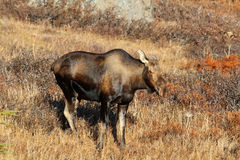 Alaska Cow Moose Royalty Free Stock Image