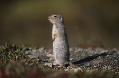 Alaska - Denali National Park - Chipmunk Stock Photos