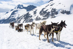 Alaska - Dog Sledding. Special adventure in Alaska - Dogsled experience - Travel Destination Royalty Free Stock Images