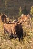 Alaska-Elche im Samt Stockbild