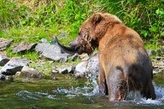 Alaska fångar den bruna Grizzlybjörnen fisken Fotografering för Bildbyråer