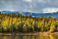 Free Alaska Forest Wildlife Bird Nature Landscape Shore Background With Bald Eagle Flying Above Pine Trees Coast In Ketchikan, USA. Stock Photography - 154851962