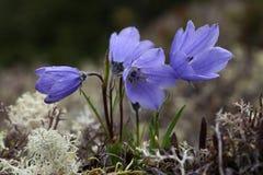 Alaska-Glockenblumen, Makro Lizenzfreies Stockfoto